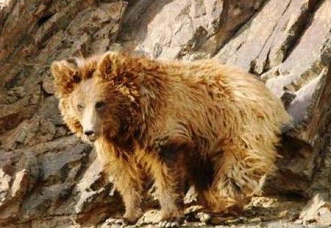 Cea mai rara specie de urs din lume, amenintata de schimbarile climatice