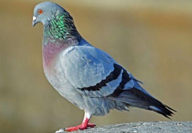Descopera 4 specii spectaculoase de porumbei salbatici!