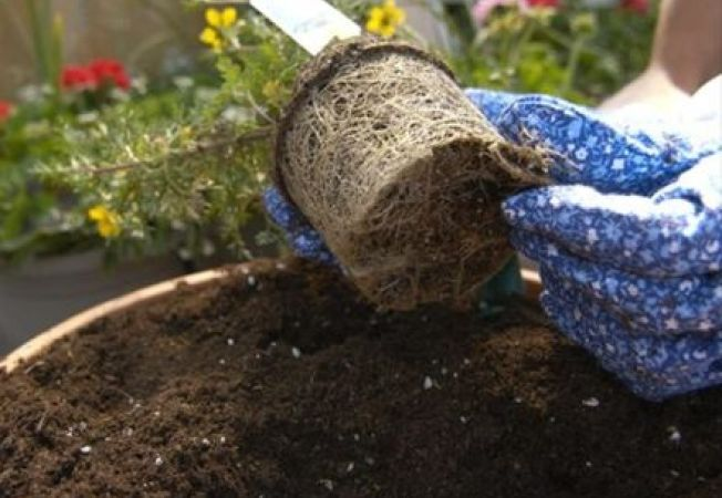 Invata sa eviti si sa repari socul suferit de plante la transplantare