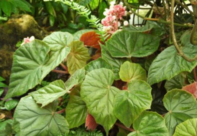 begonia credneri