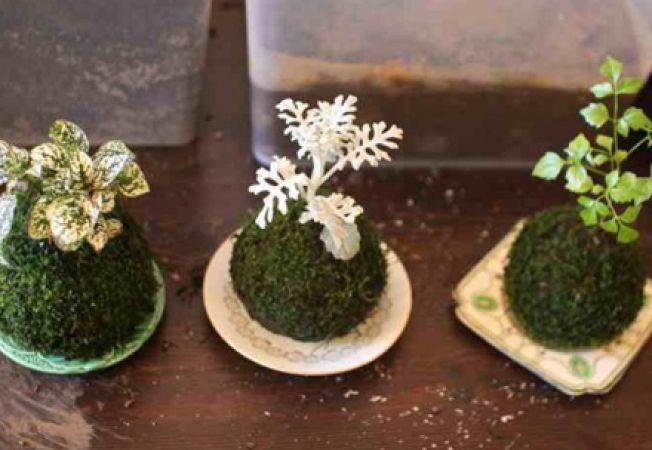 Kokedama, arta japoneza de expunere a plantelor