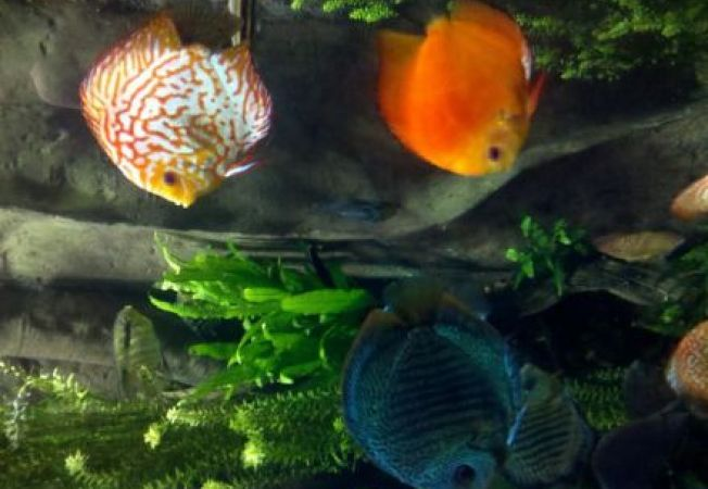 5 specii de pesti ornamentali pentru acvariul tau