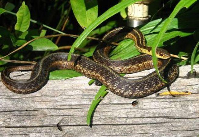 5 specii periculoase de serpi veninosi