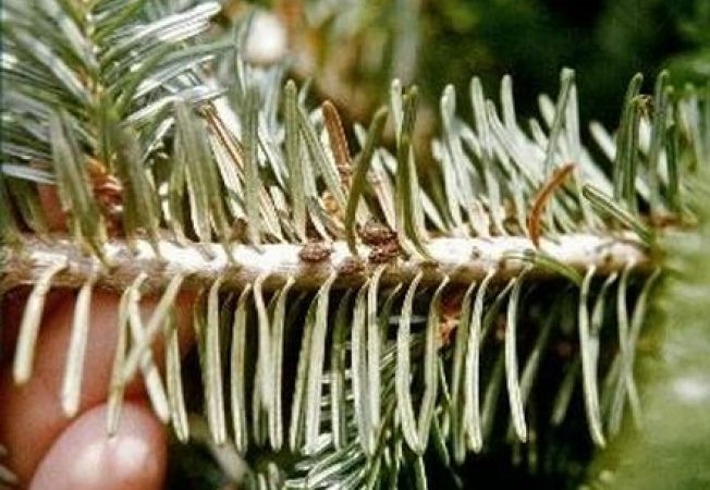 Insectele microscopice pe care le aduce in casa bradul de Craciun