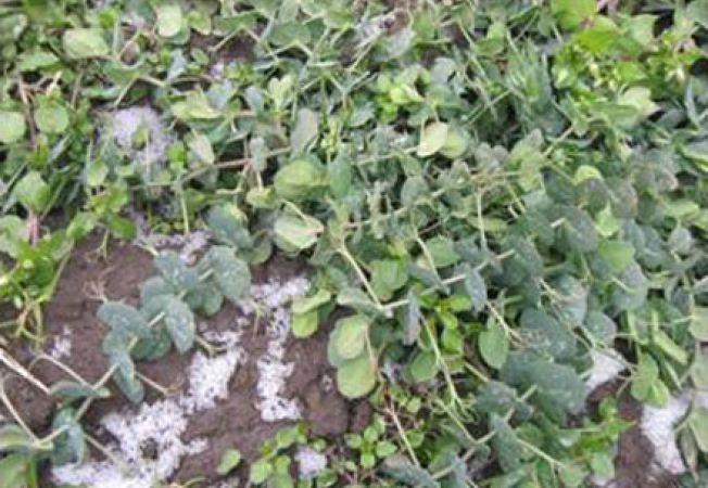 Mazarea, o leguma gustoasa in gradina de iarna