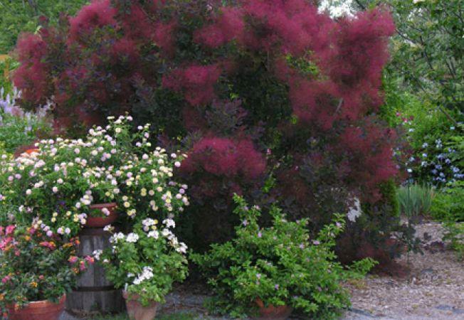Cotinus, un arbust colorat pentru gradina ta de iarna