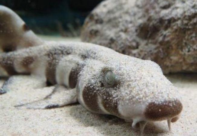 Fetusii de rechin detecteaza campurile magnetice ale pradatorilor