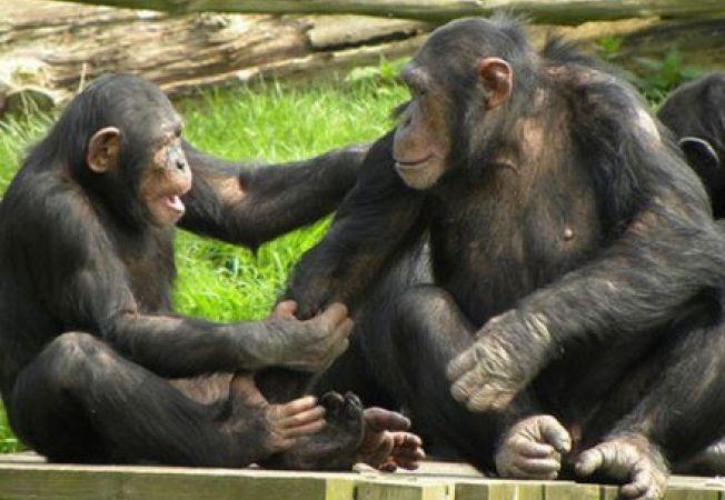 Cimpanzeii poseda simtul echitatii