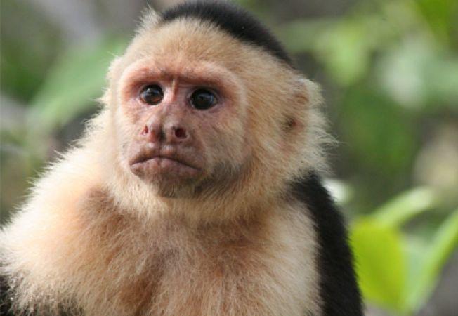 Maimuta capucin, animal de companie sau vietuitoare salbatica?