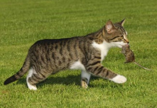 Pisicile, pradatori de temut: Ucid anual miliarde de animale
