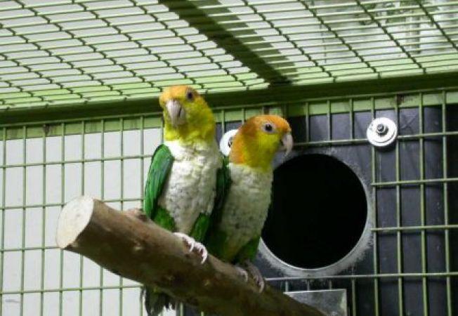 Tot ce trebuie sa stii despre infestarea cu paduchi la pasarile de companie