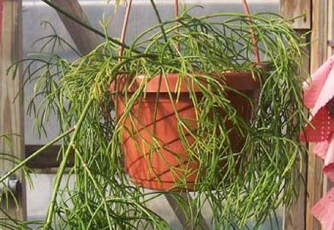 Rhipsalis, cactusul agatator