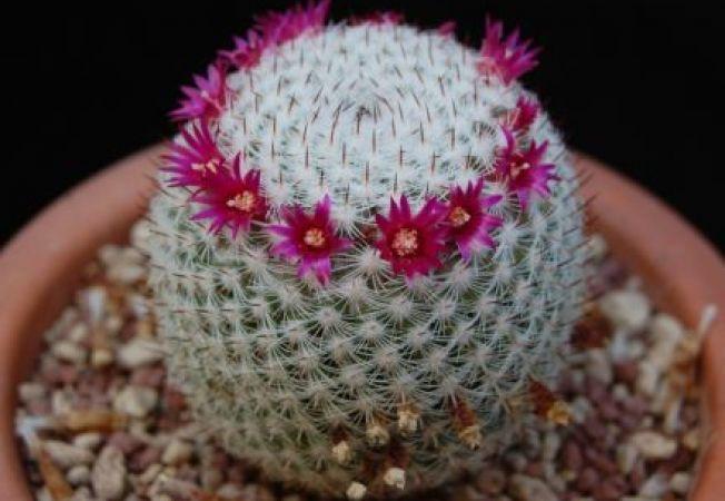Mammilaria, cactusul usor de crescut