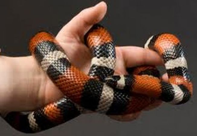 Specii de serpi potrivite pentru incepatori