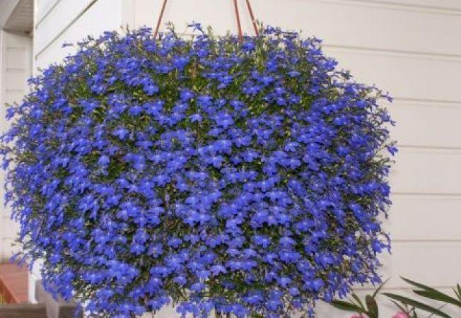 Lobelia, planta agatatoare cu flori hipnotizante