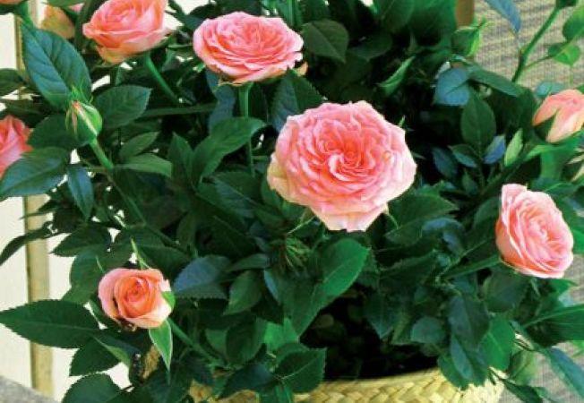 Trandafiri in miniatura: sfaturi de crestere in apartament