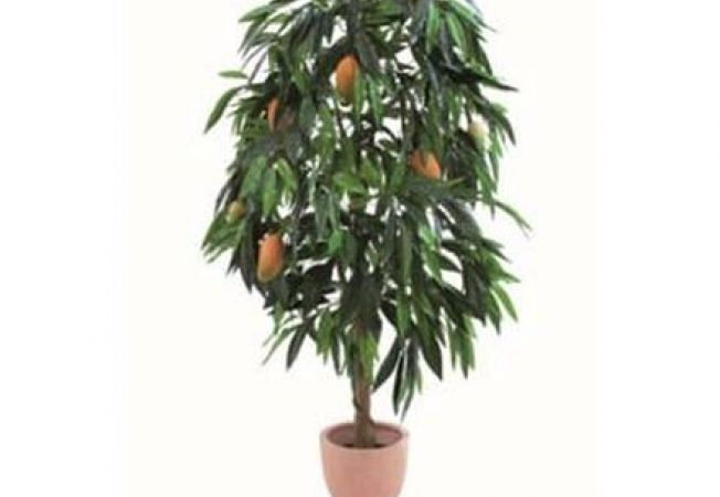 Cum sa plantezi arborele de mango din seminte