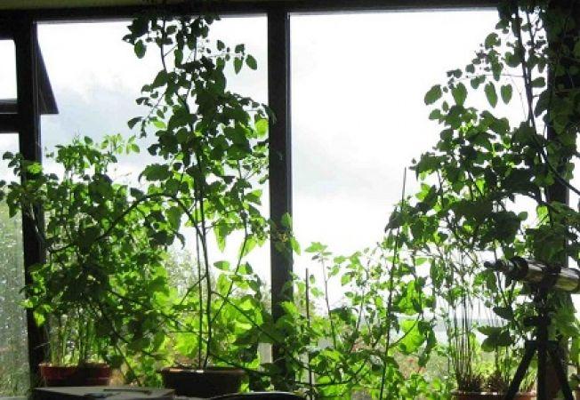 Plante pentru o fereastra orientata catre Nord