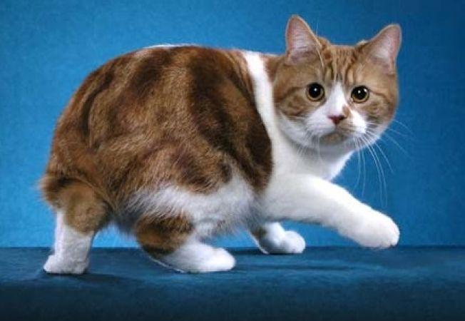 5 rase de pisici cu personalitate de caine