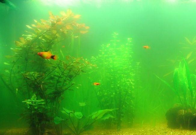 5 metode de a tine algele sub control in acvariu