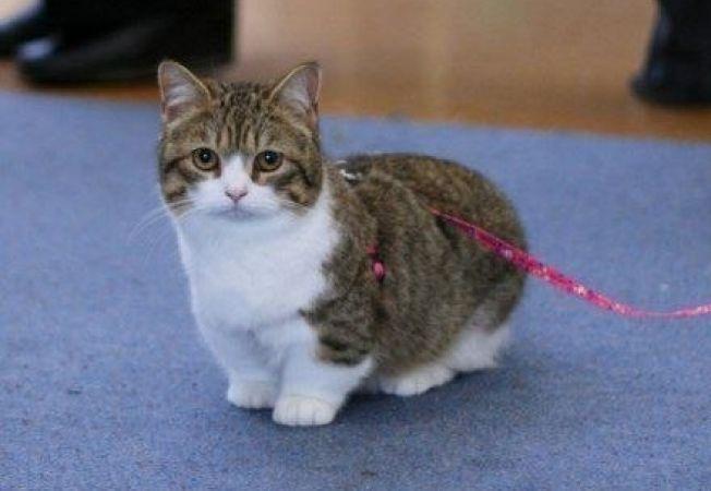 5 cele mai mici rase de pisici