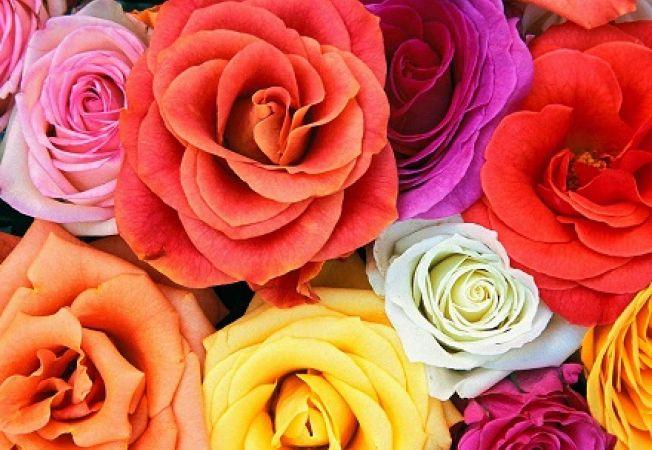 Simbolurile trandafirului in functie de culoare