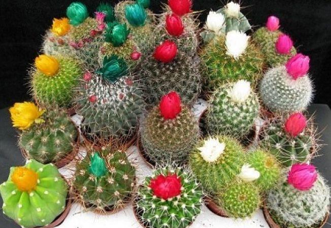 Cele mai frumoase flori de cactus