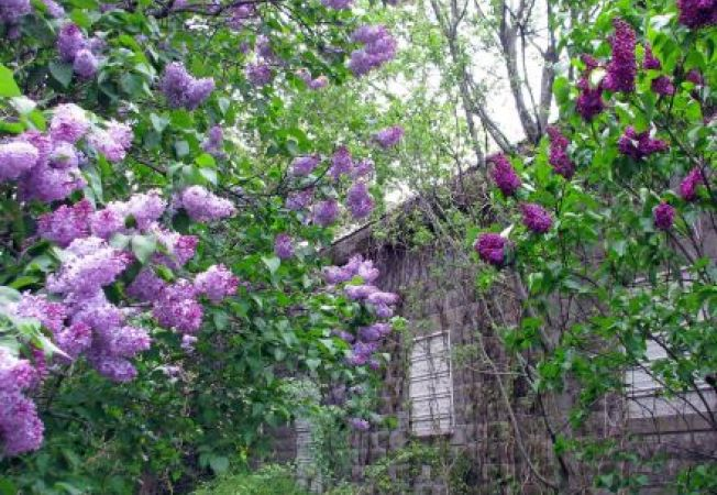 3 trucuri pentru ingrijirea tufelor de liliac