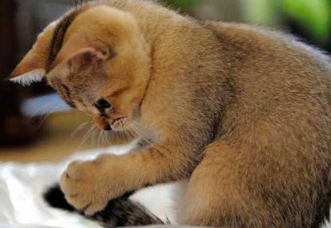 Lucruri interesante despre codita pisicii