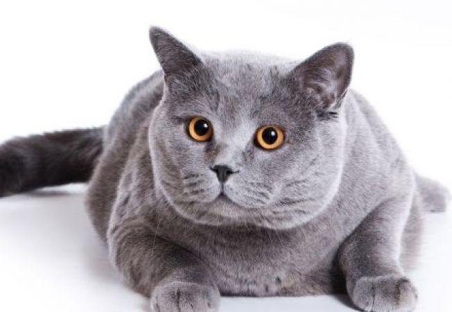 Pisica ta e dolofana? Trucuri pentru a o ajuta sa slabeasca rapid