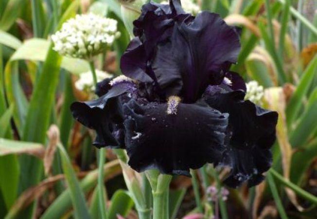 Flori si plante negre: detalii suprinzatoare si neobisnuite in gradina ta