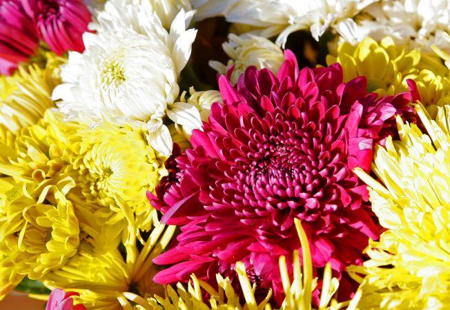 5 curiozitati despre crizanteme, florile toamnei