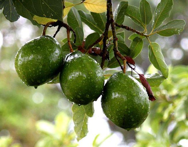 Avocado, un arbore perfect pentru gradina. Iata cateva trucuri de plantare!