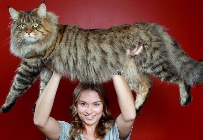 Cele mai frumoase rase de pisici