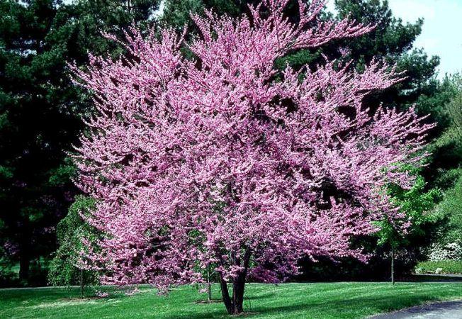 Copacul Redbud sau Arborele lui Iuda