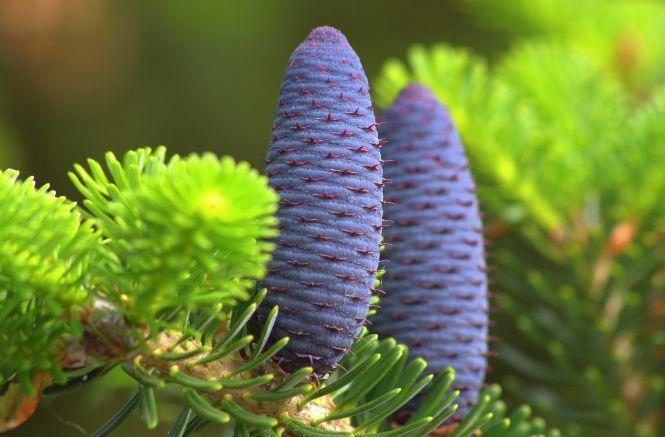 Cei mai frumosi arbori coniferi pentru gradina ta de iarna