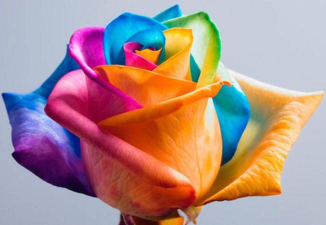 Cum sa colorezi un trandafir natural in culorile curcubeului