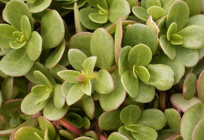 Grasita, o planta condiment usor de cultivat