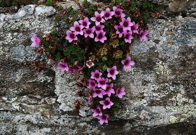 Saxifraga oppositifolia, floarea care creste in cele mai reci locuri de pe Pamant