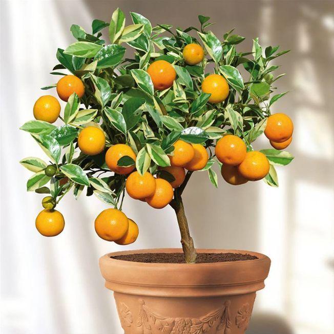 3 tipuri de fructe pe care le poti creste in ghivece