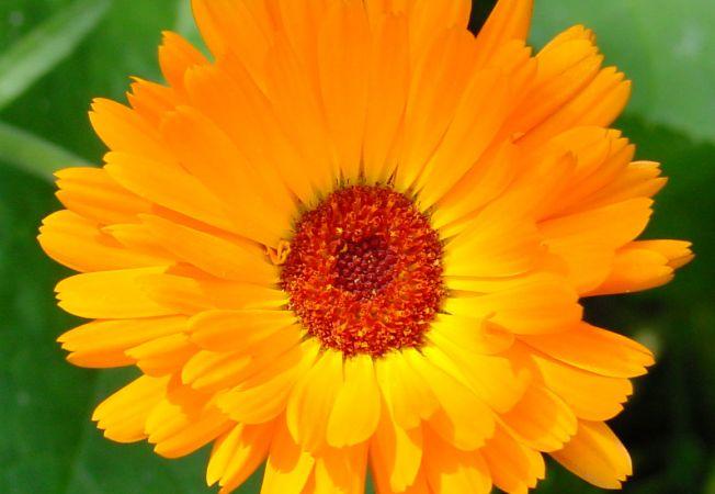 Florile comestibile, indispensabile pentru o gradina completa! Tu ai auzit de ele
