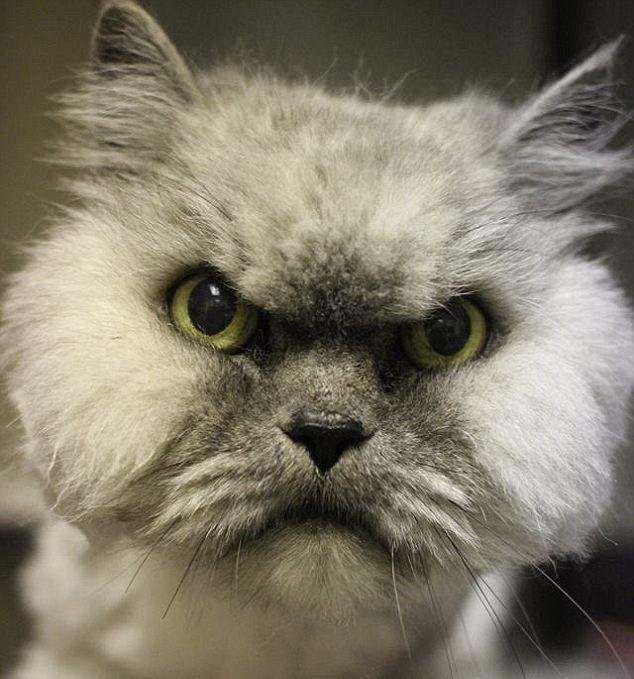 Pisica furioasa care poate deveni la fel de celebra ca Grumpy Cat