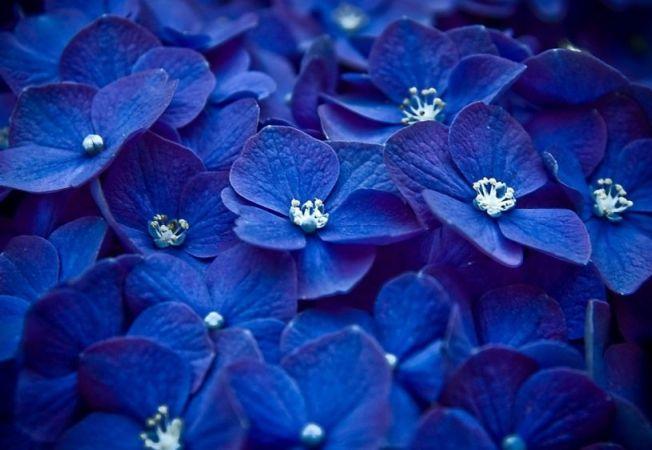 Si tie iti plac florile albastre? Iata cum au aparut acestea!