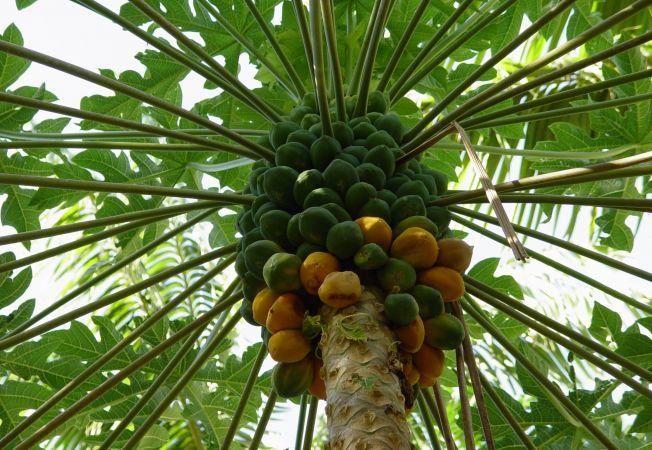 Invata sa cultivi papaya in sera din gradina ta!