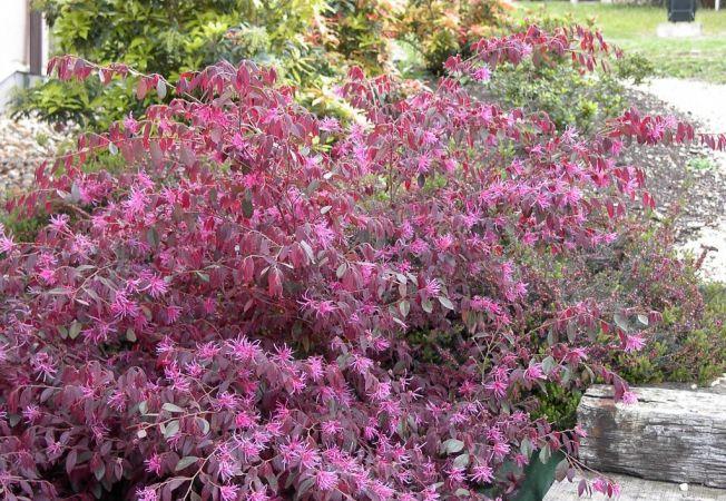Un arbust exotic pentru gradina ta: Loropetalum in flacari!
