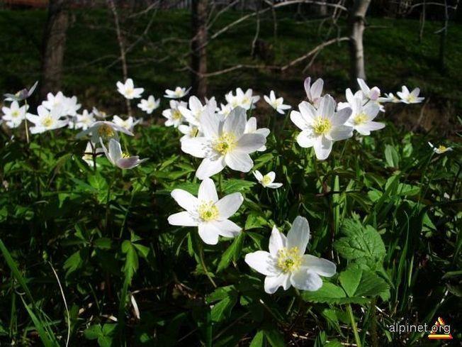 5 lucruri surprinzatoare despre Floarea Pastelui