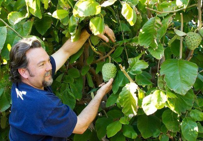 Cultiva propriul tau arbore de Cherimoya