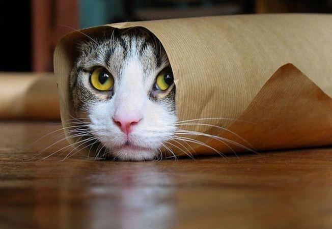 Pisicile-burrito au luat cu asalt Internetul!
