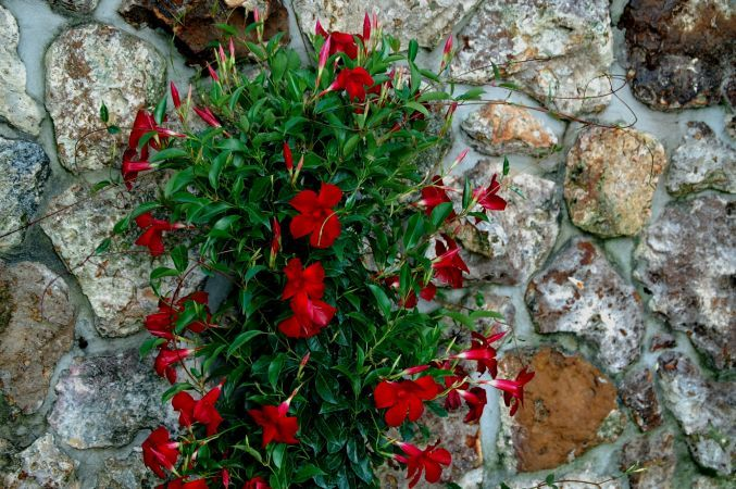 5 plantele cataratoare care iti vor inviora gradina