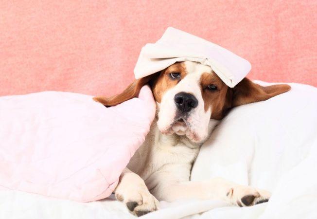 5 simptome neobisnuite care anunta durerile la caini